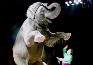 photo of elephant standing on hind legs while performing at circus