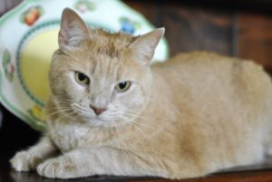 photo of Sunshine, the lovable golden tabby cat, at his new home after he miraculously appeared at Ira's doorstep in desperate need of a loving home