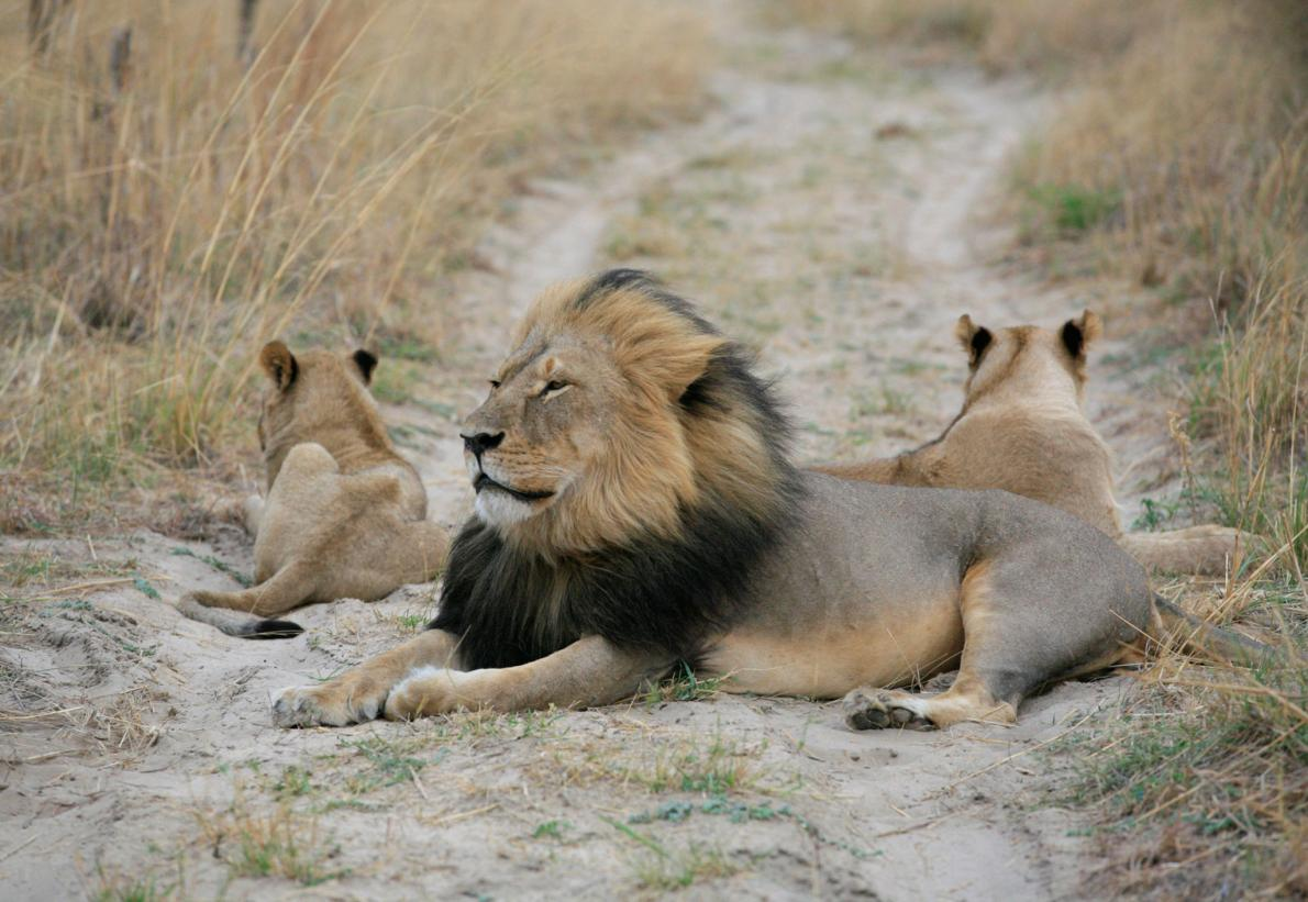 photo of Cecil the lion with 2 cubs resting on African plain