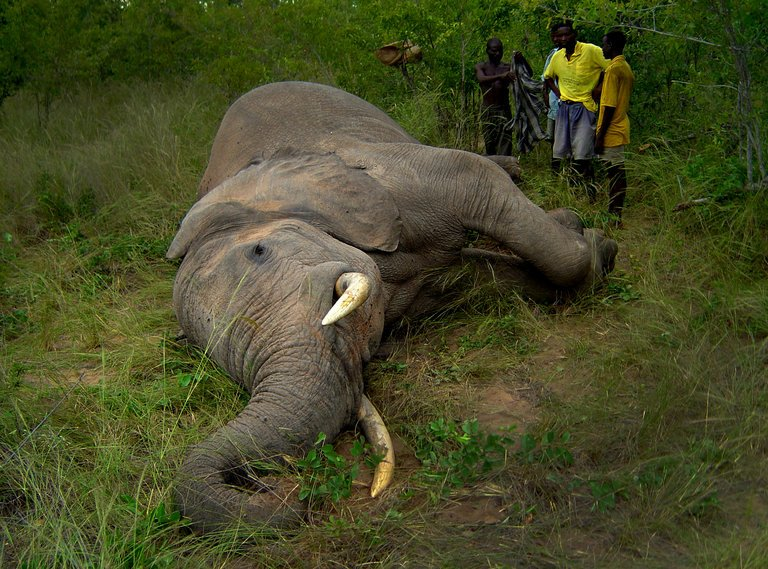 photo of downed elephant and several members of hunting surrounding him