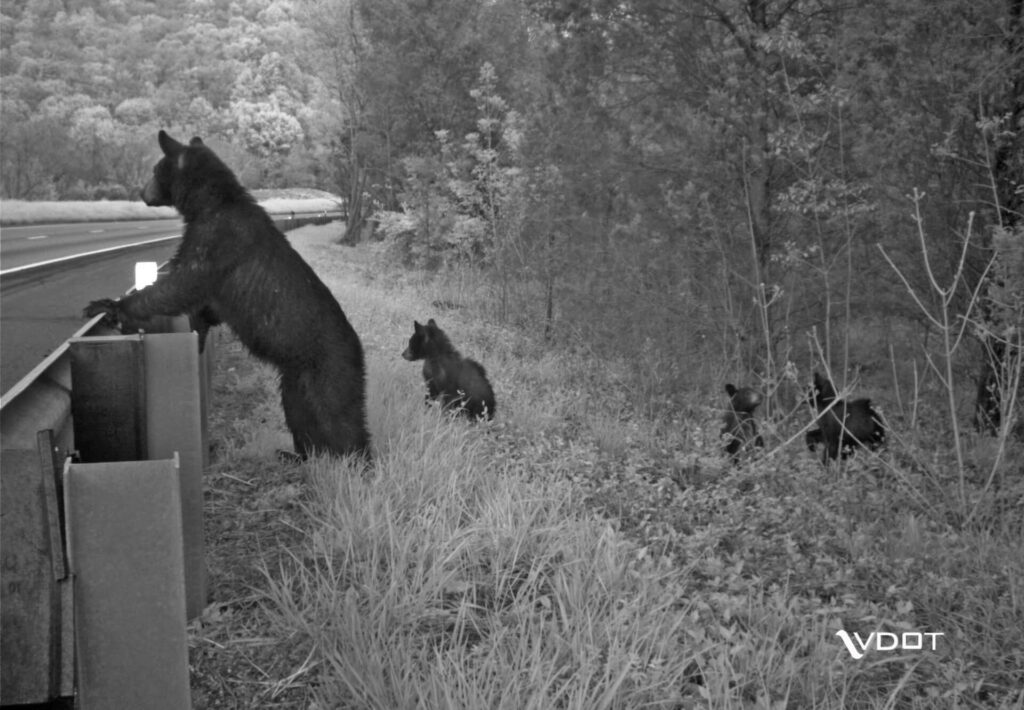 photo of Bear and cubs about to cross highway